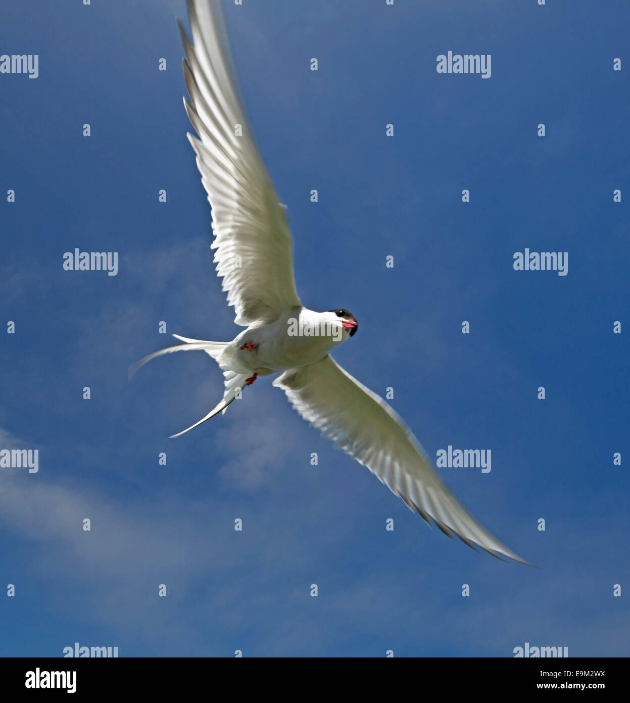 Arctic tern Sterna paradisaea in flight against  blue sky, with wings spread wide ,beak open & screeching in - Stock Image