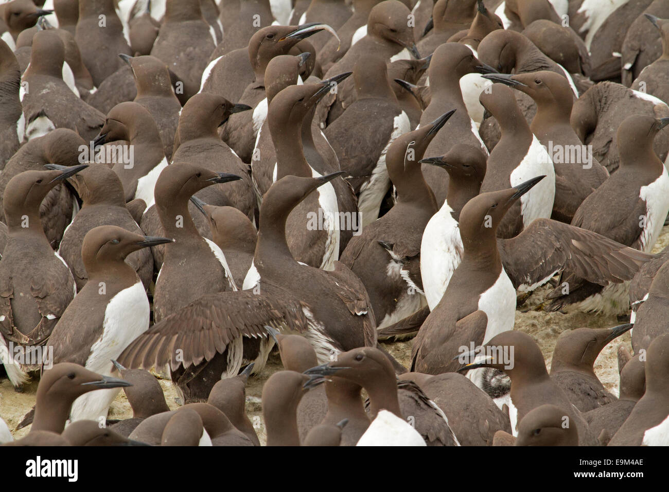 Close up of crowd of nesting guillemots / murres, Uria aalge, showing bodies & faces of numerous birds, one with Stock Photo