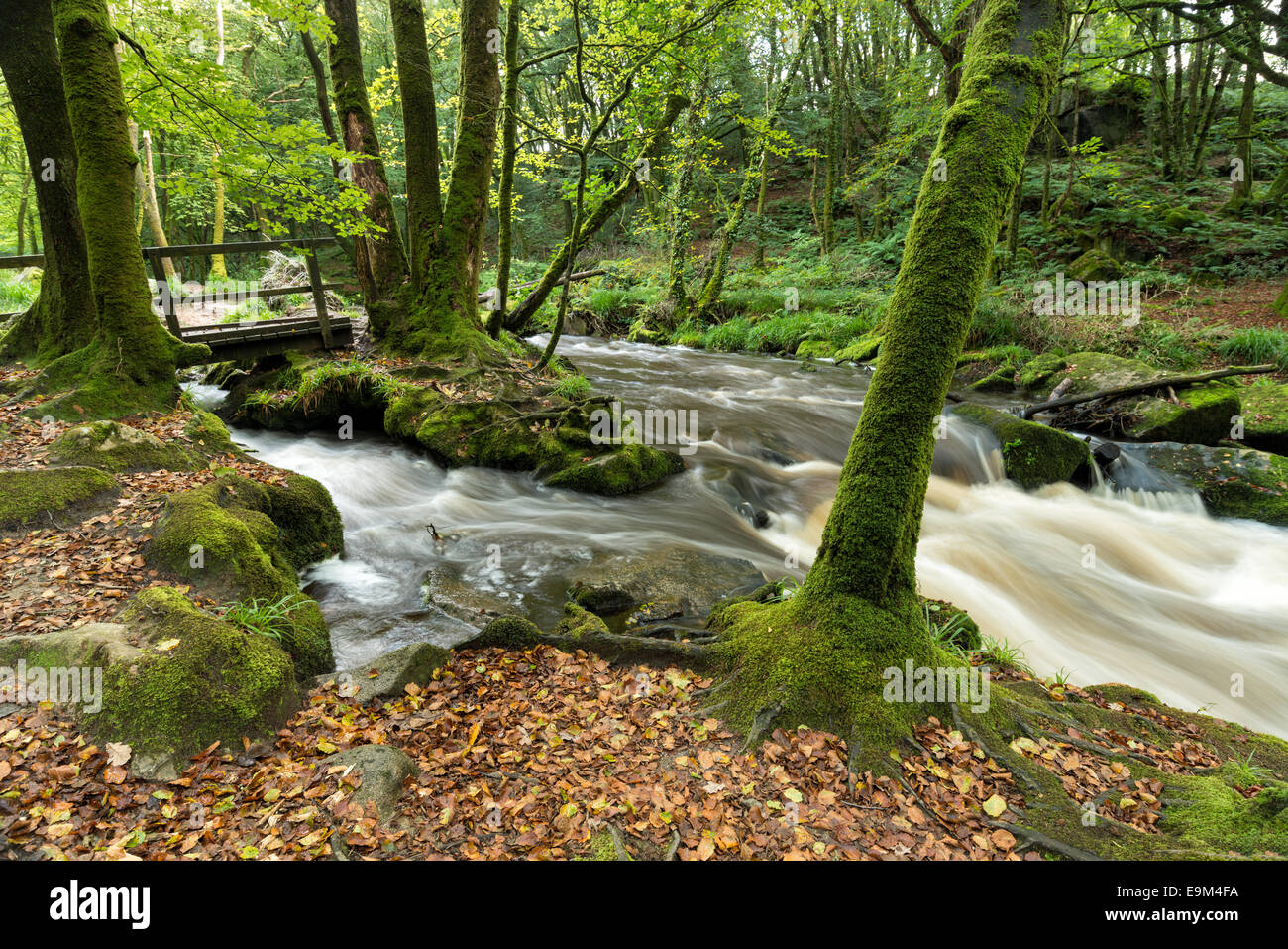 Mossy beech woodland and a fast flowing river at Golitha Falls in Cornwall - Stock Image