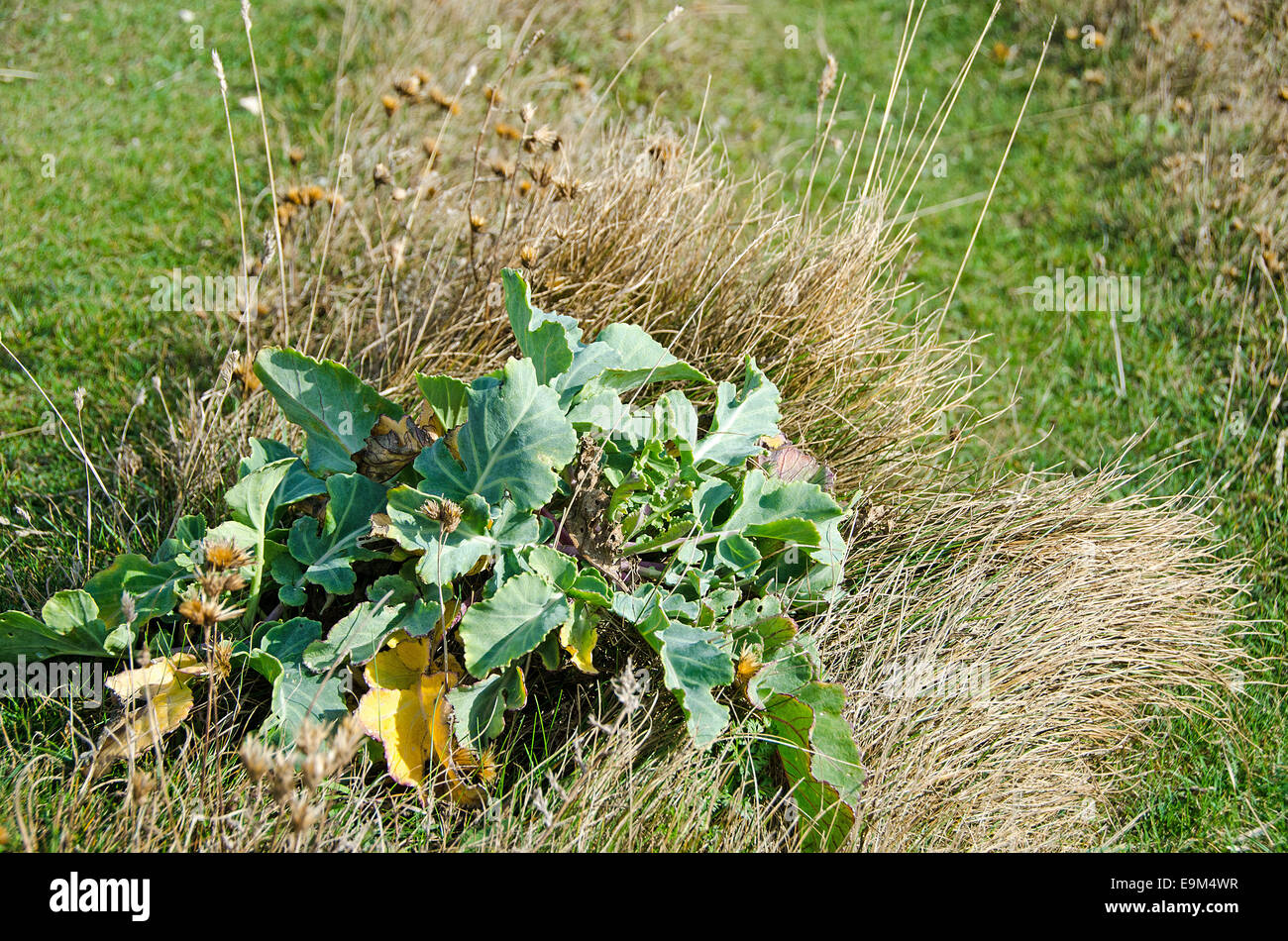 Wild cabbage or sea cabbage,  Brassica oleracea, a nationally scarce plant found growing on chalk downland - Stock Image