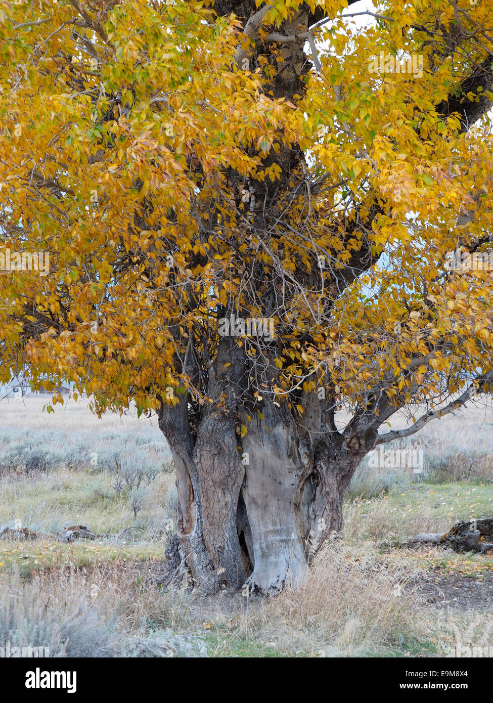 Old Cottonwood Tree with Gnarled Trunk Fall Color - Stock Image