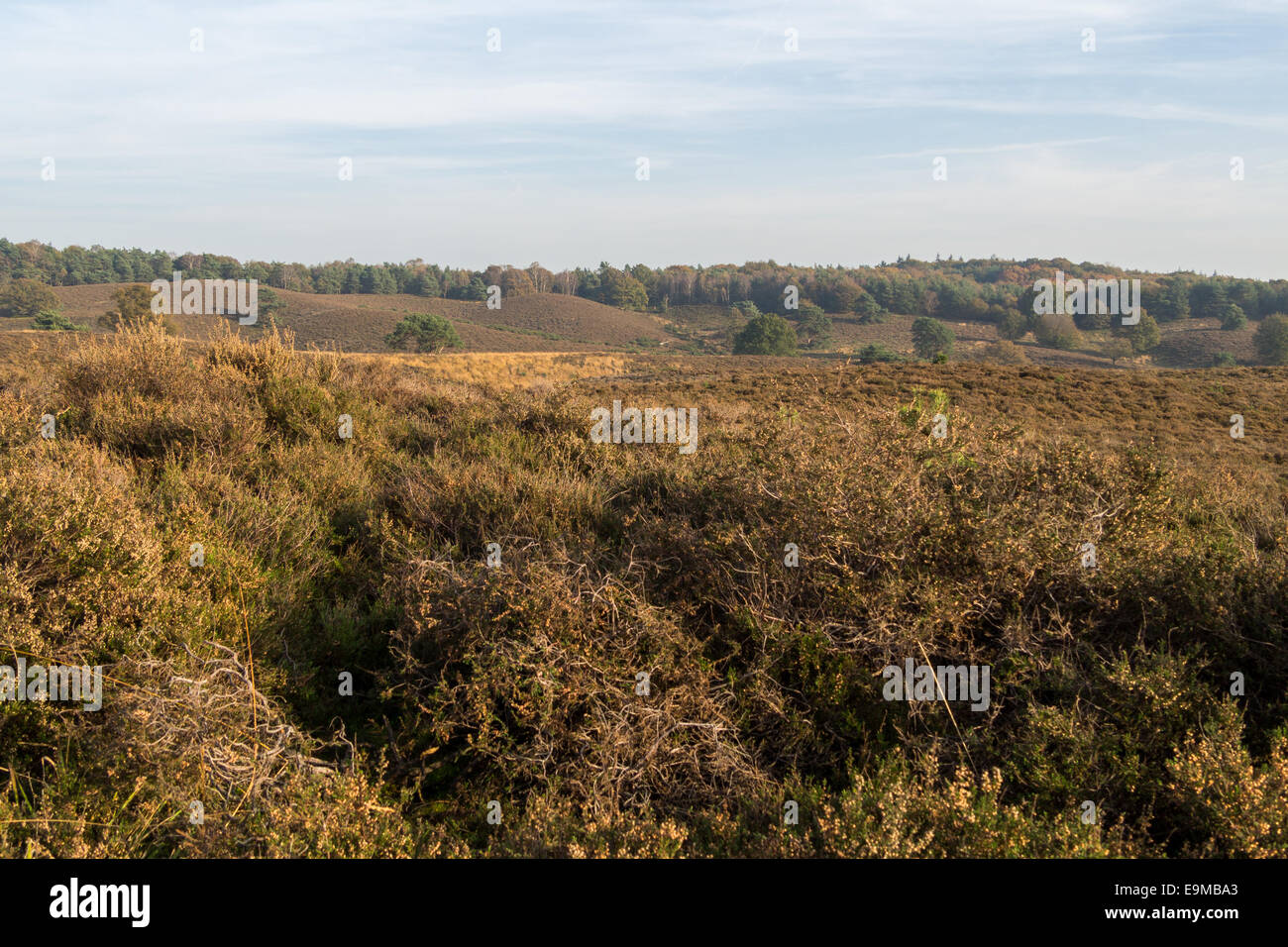 Looking out over Dutch heathland area in the fall Stock Photo