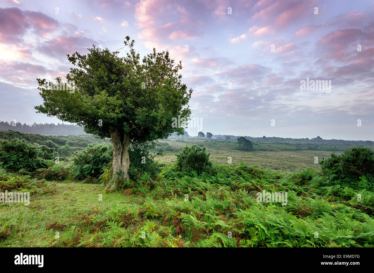 Dawn in the New Forest National Park - Stock Image