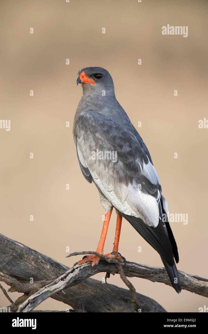 Southern pale chanting goshawk, Melierax canorus, Kgalagadi Transfrontier Park, Northern Cape, South Africa - Stock Image