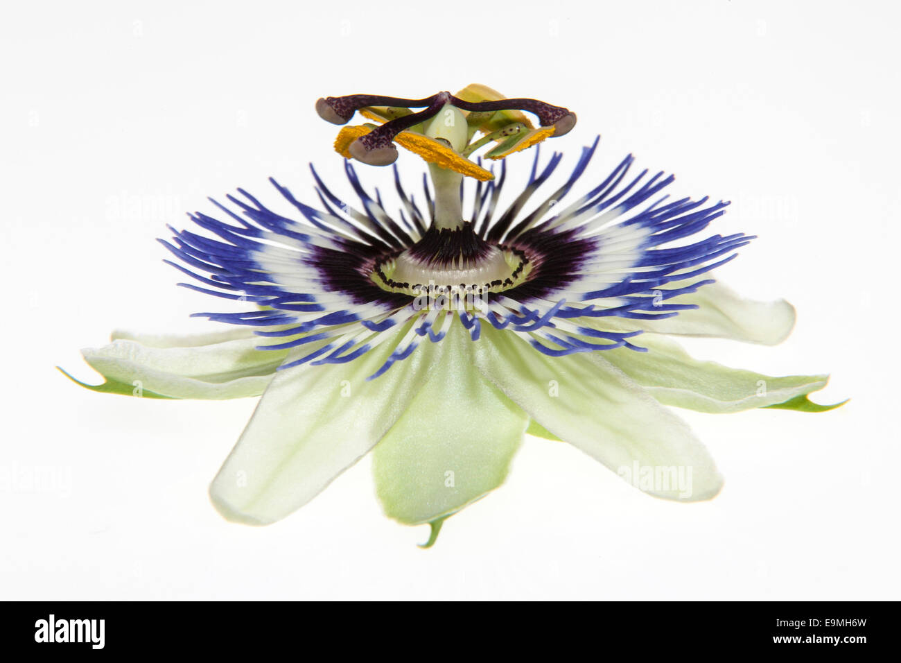 Passion Flower (Passiflora) Stock Photo