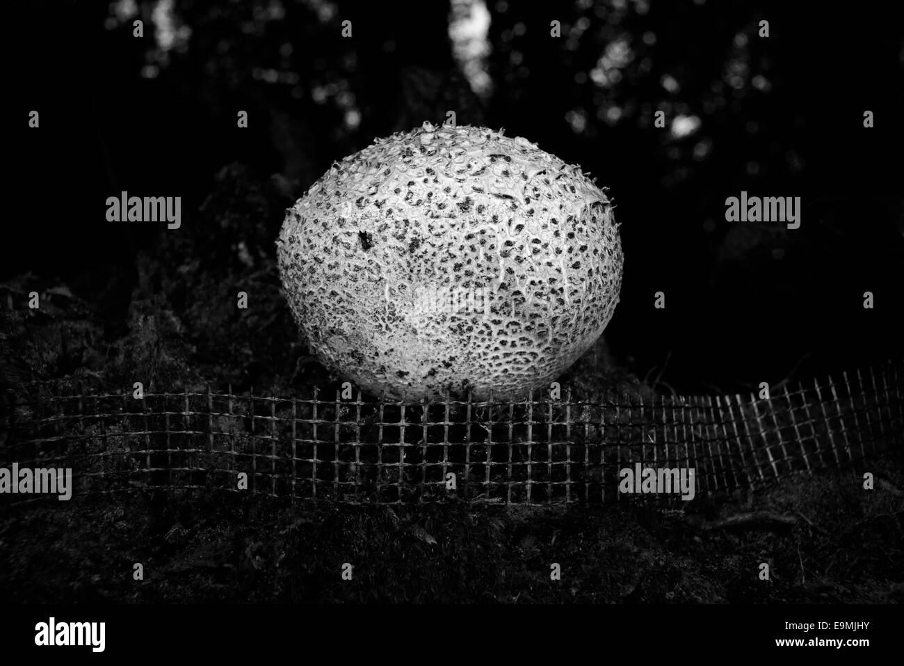 Round fenced mushroom - Stock Image