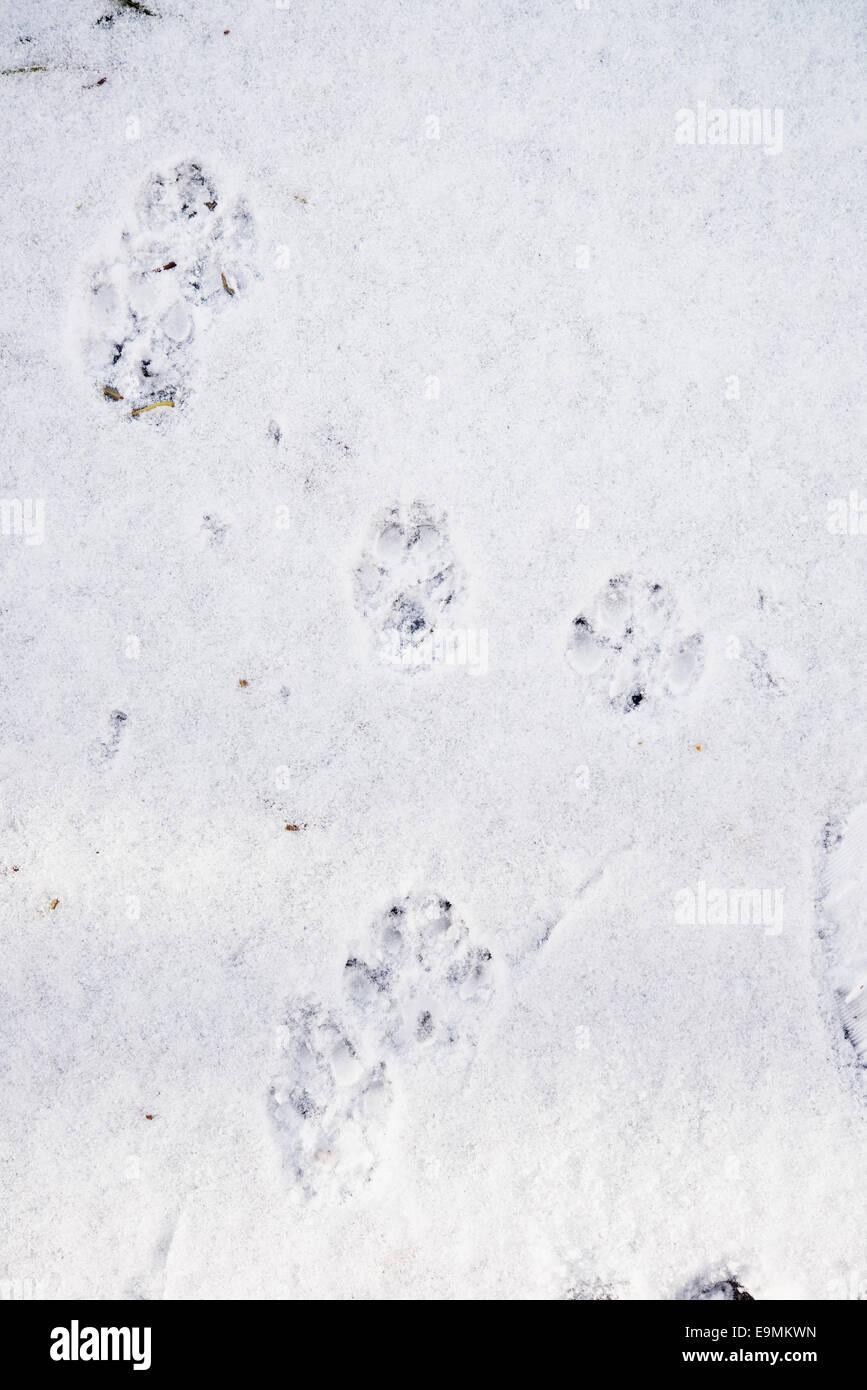 dog tracks on fresh snow - Stock Image