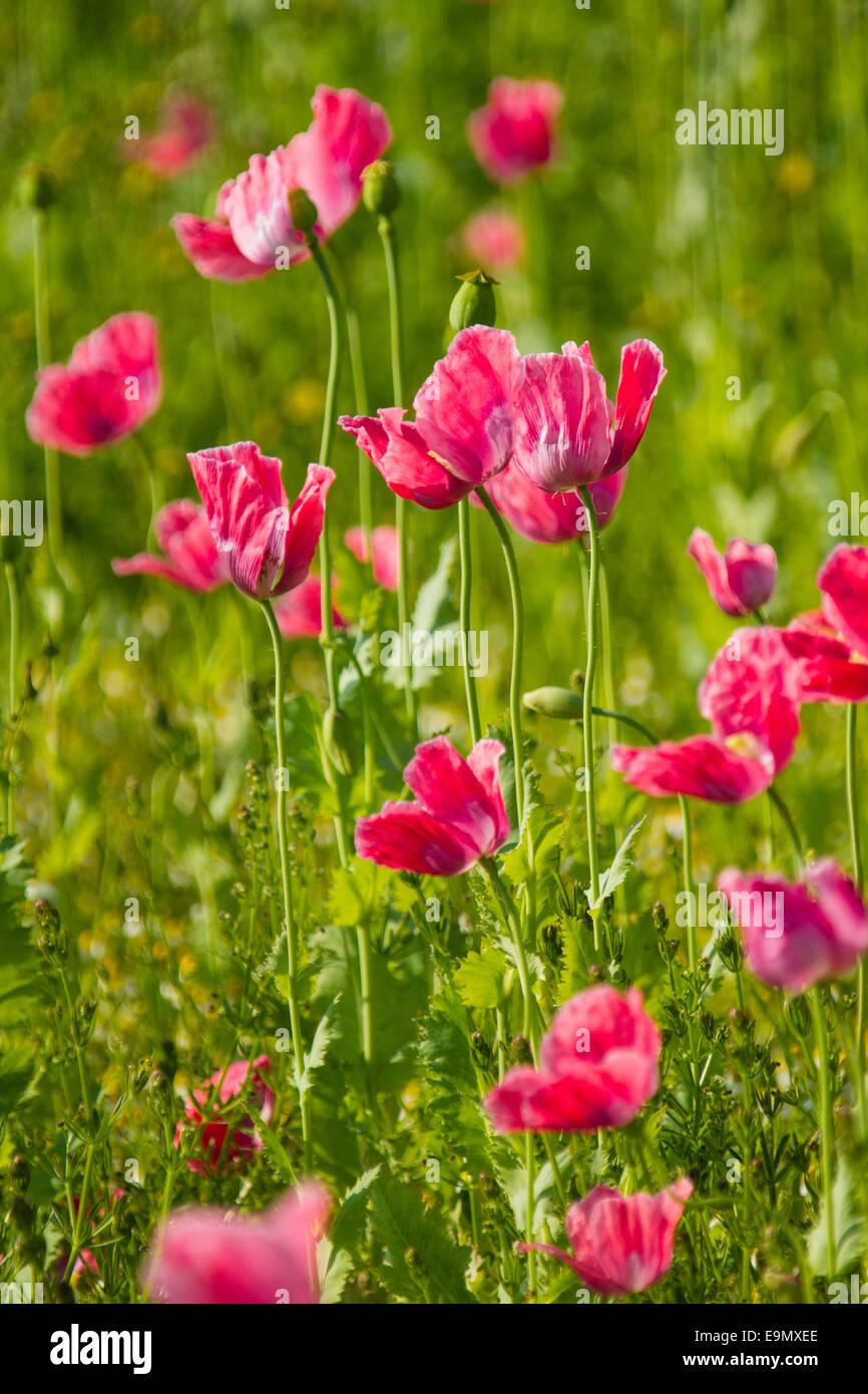 Opium poppy, Papaver somniferum Stock Photo