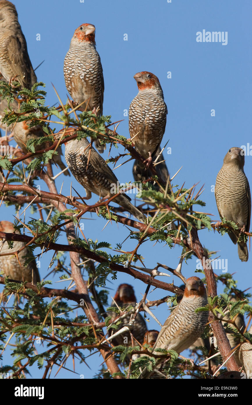 Red headed finches, Amadina fasciata, flock in tree, Kgalagadi transfrontier Park, Northern Cape, South Africa Stock Photo