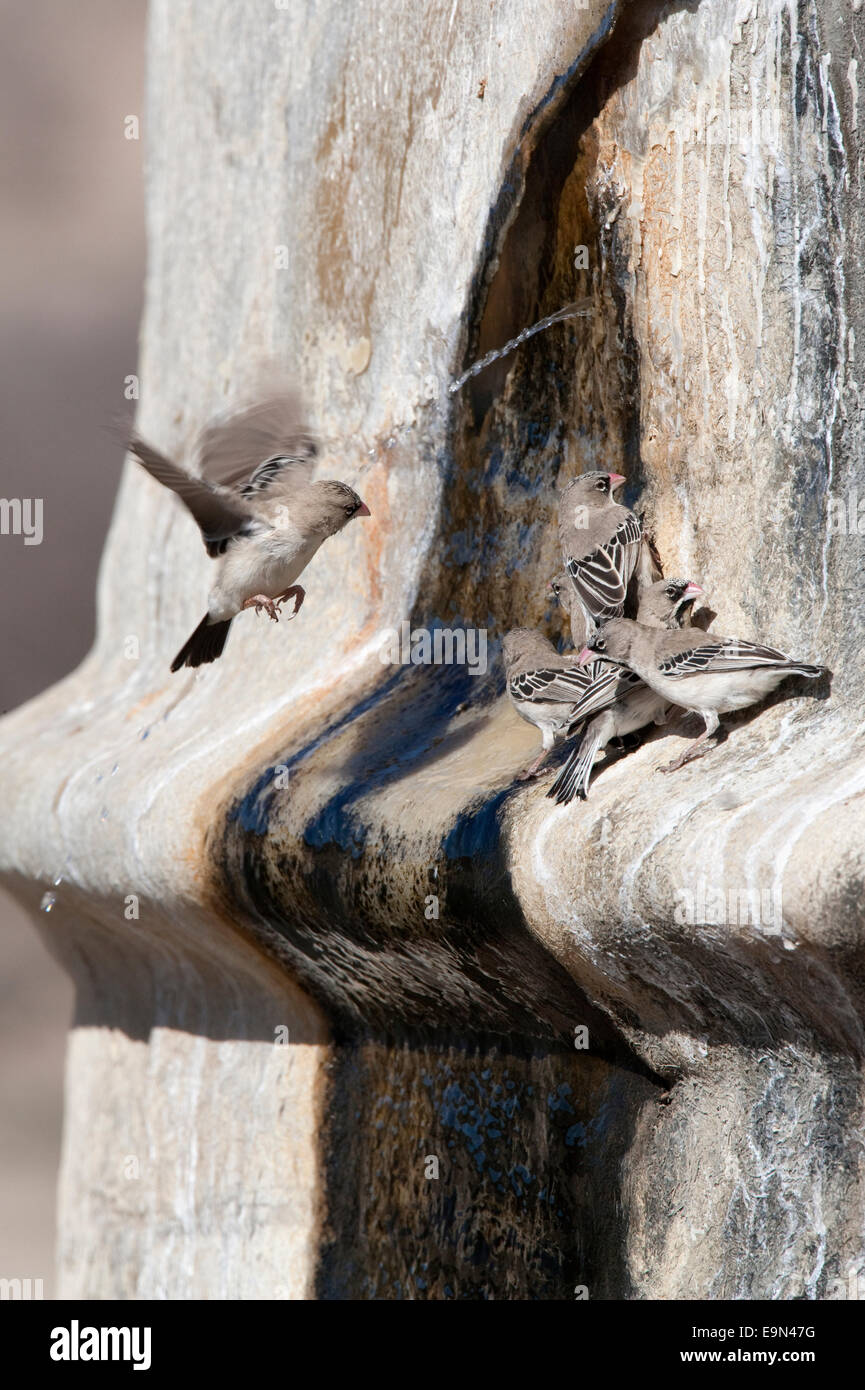 Scaly feathered finches,Sproropipes squamifrons, drinking at leak in water tank, Kgalagadi Transfrontier Park, South - Stock Image