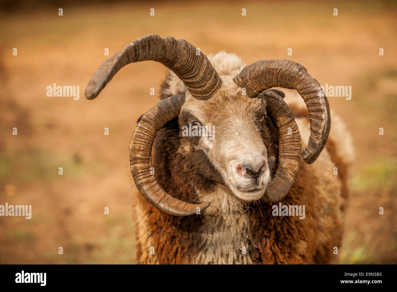 A Jacob sheep with multi-colored wool. - Stock Image