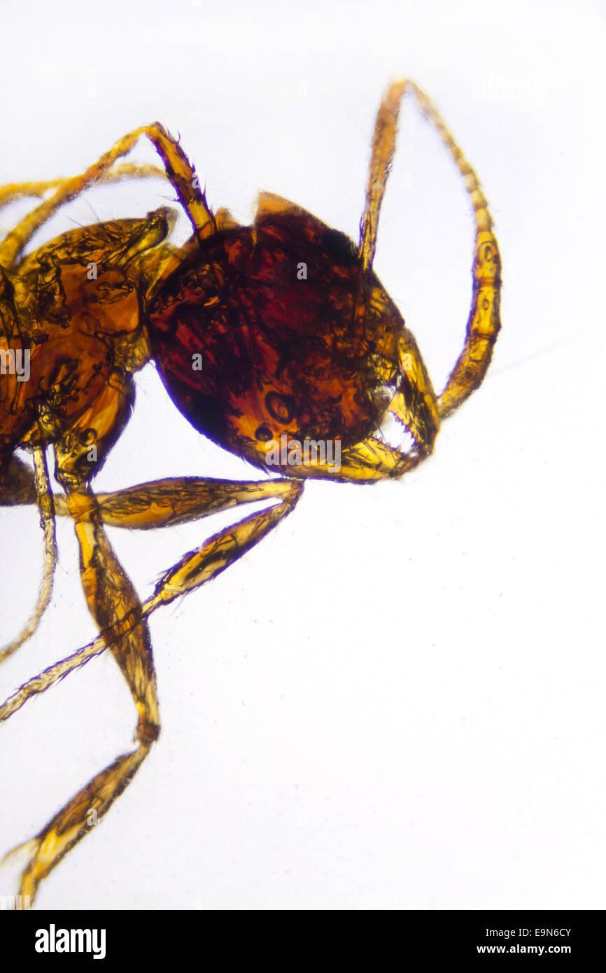 Ant - Stock Image