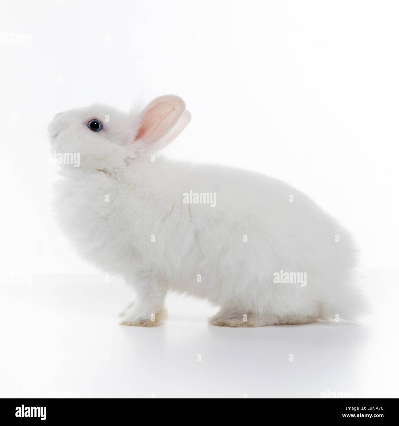 White rabbit isolated on white background - Stock Image