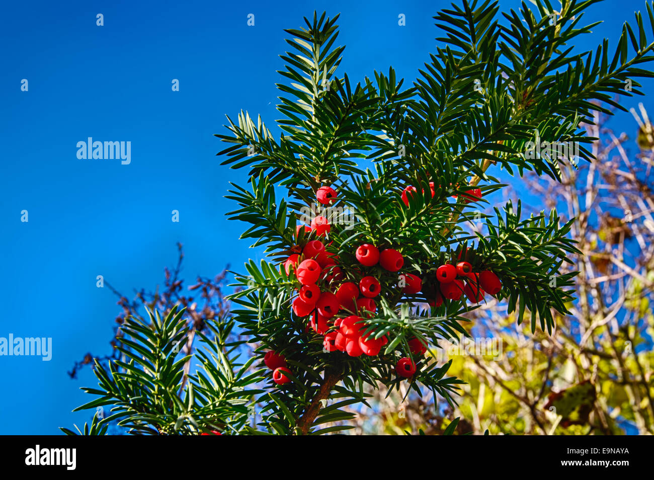 Red jew berries - Stock Image