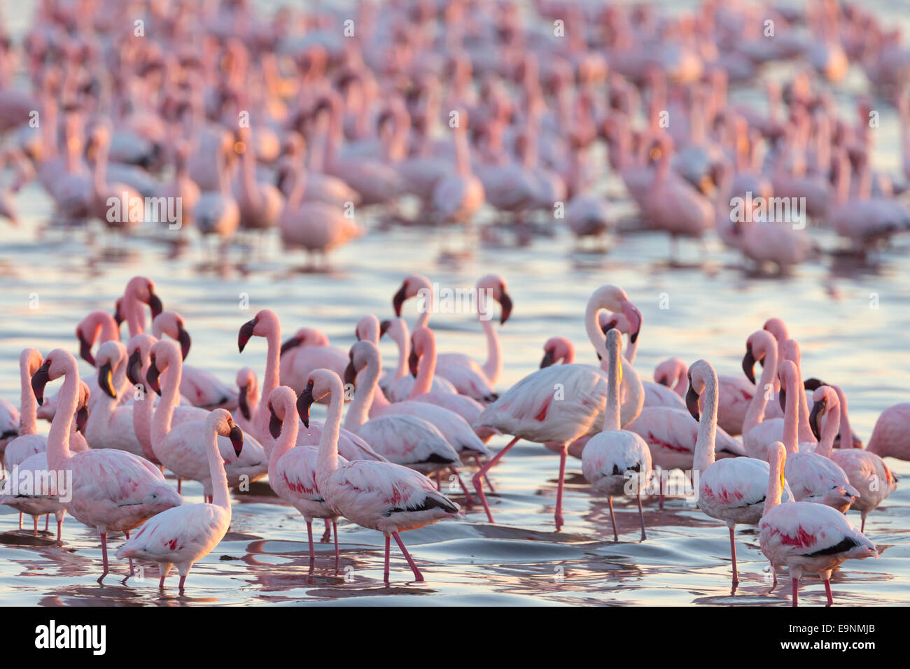 Lesser flamingoes (Phoenicopterus minor), Walvis Bay Lagoon, Namibia, Africa - Stock Image