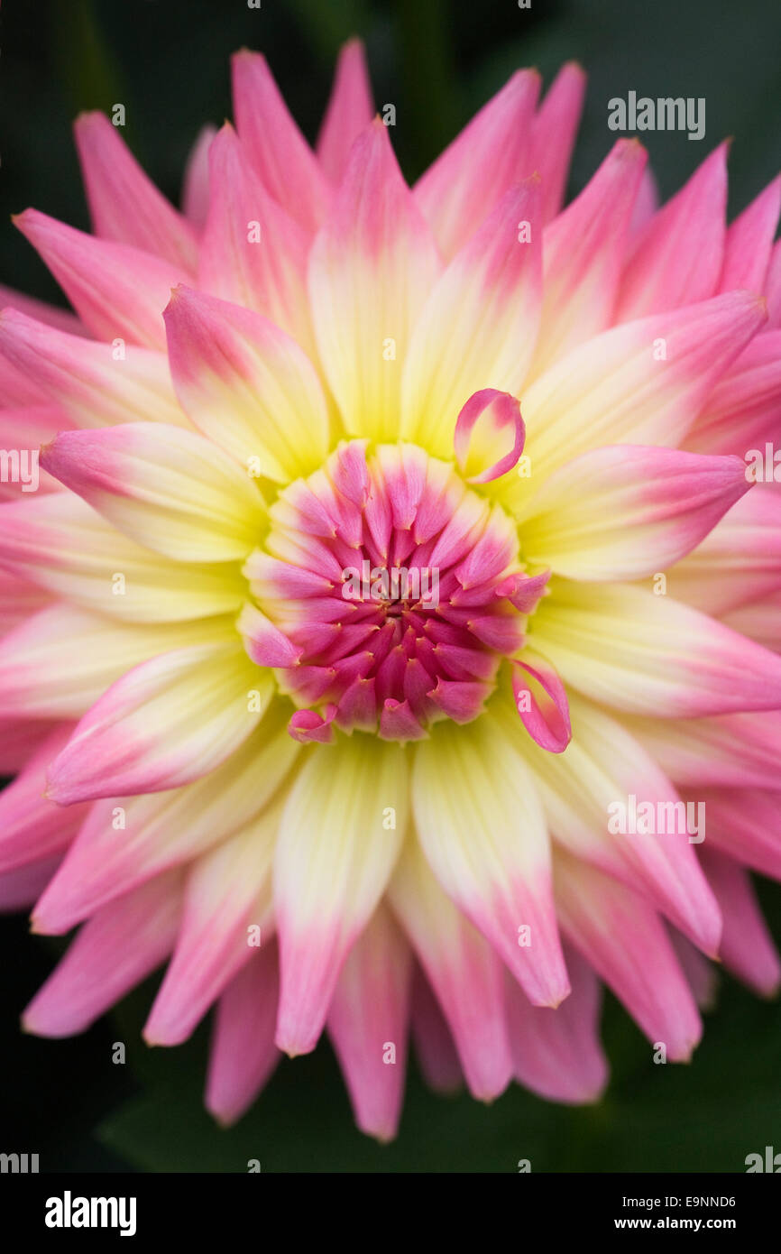 Dahlia 'Melody Gypsy' in an herbaceous border. - Stock Image
