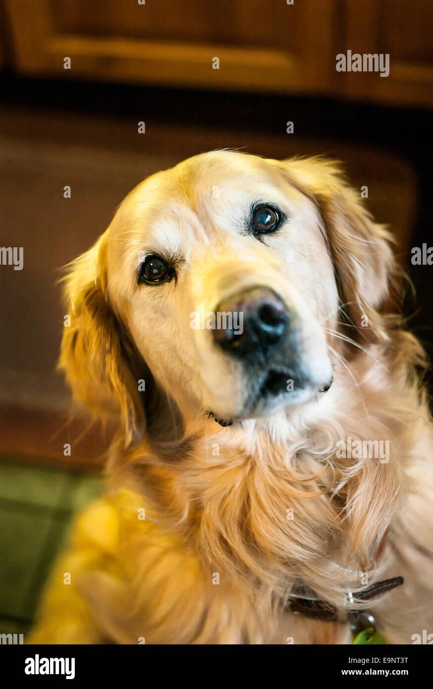 Attentive golden retriever dog - Stock Image