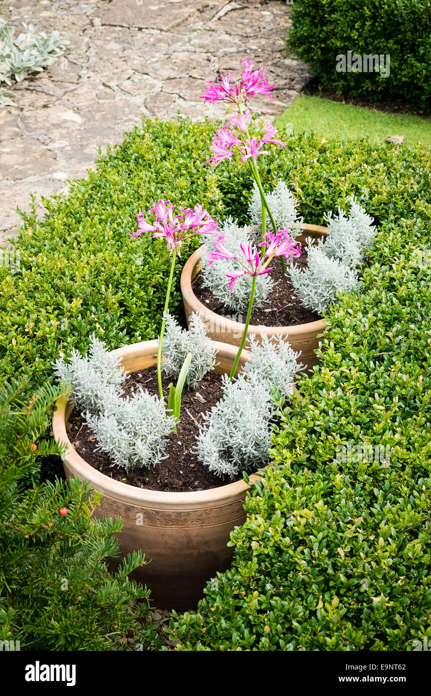 Earthenware pots with nerines partly hidden within low box hedging - Stock Image