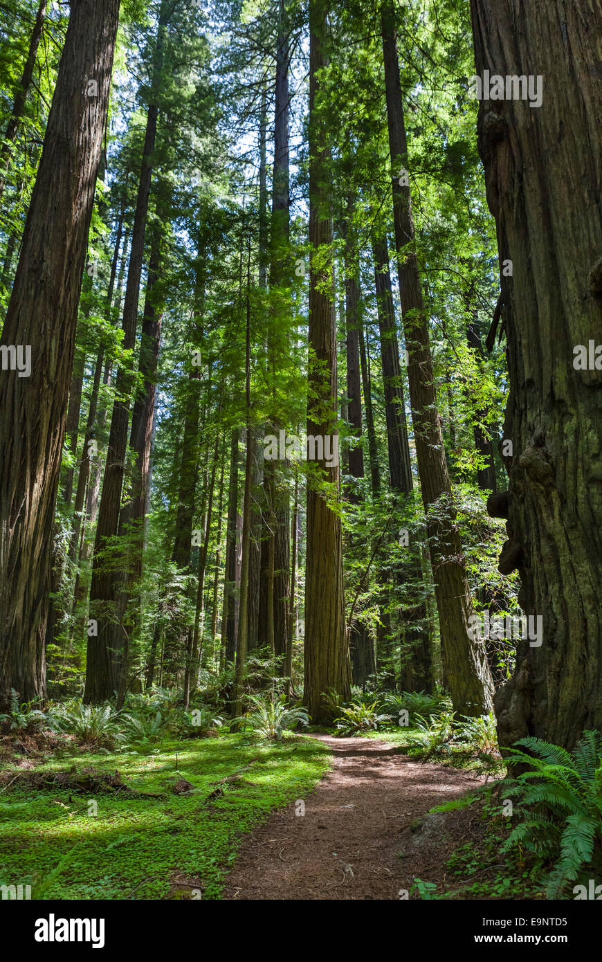 Trail in Founders Grove, Avenue of the Giants, Humboldt Redwoods State Park, Northern California, USA - Stock Image