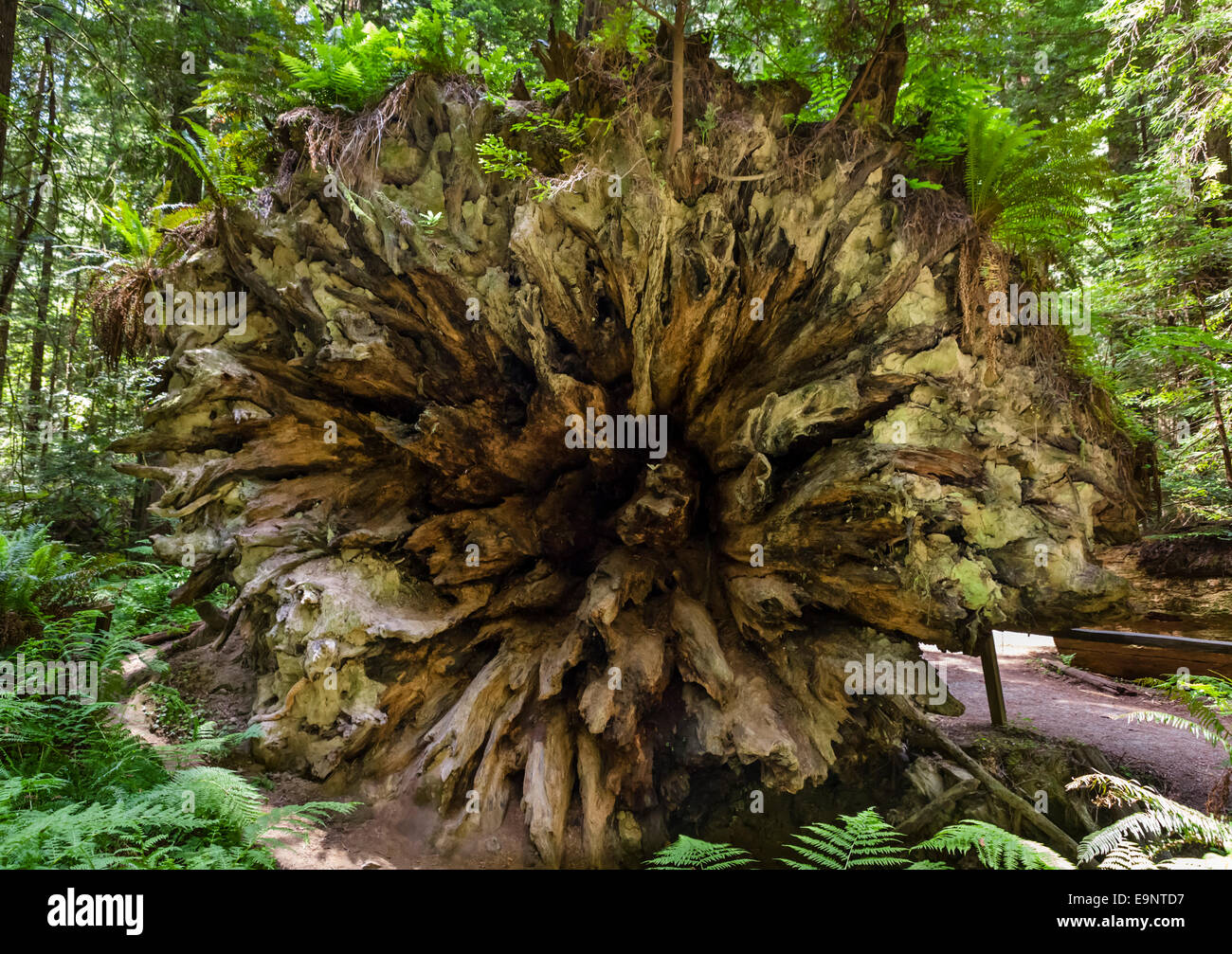 Fallen trunk of a giant Coast Redwood (Sequoia sempervirens) Humboldt Redwoods State Park, Northern California, - Stock Image