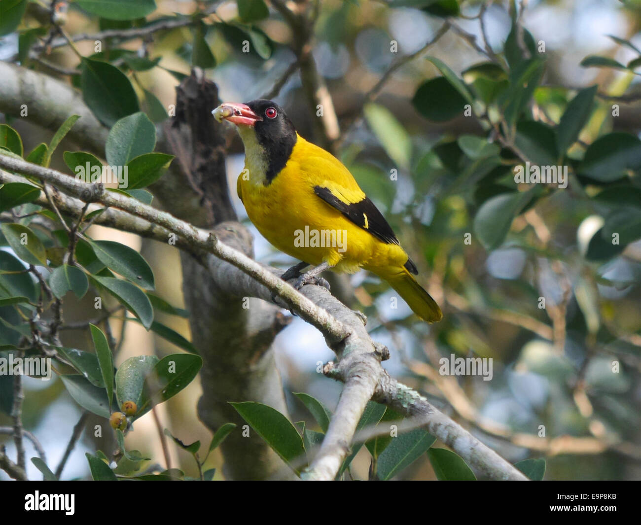 Black Hooded Oriole Oriolus Xanthornus Ceylonensis Immature With
