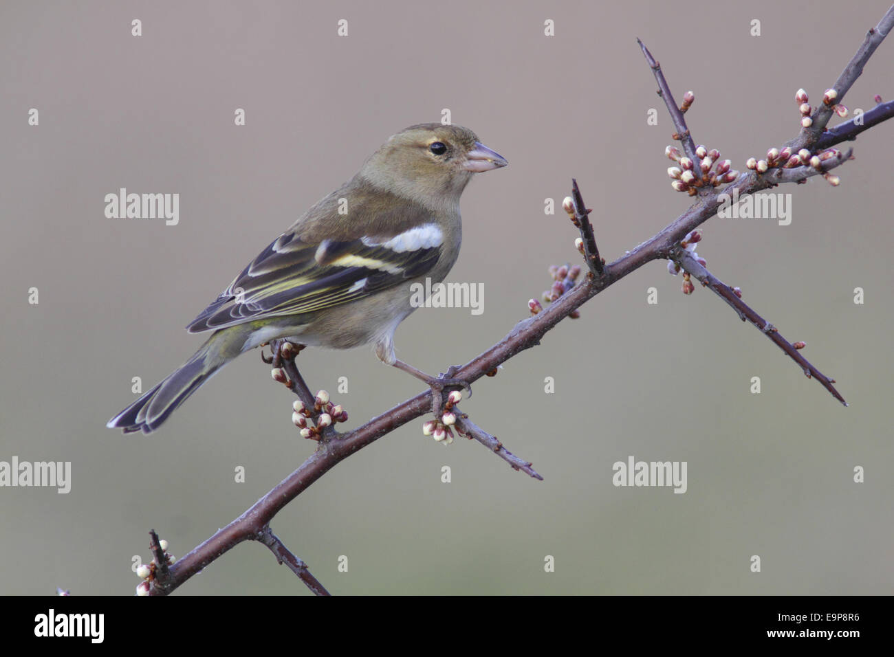 Common Chaffinch (Fringilla coelebs) adult female, perched on Blackthorn (Prunus spinosa) twig with flowerbuds, - Stock Image