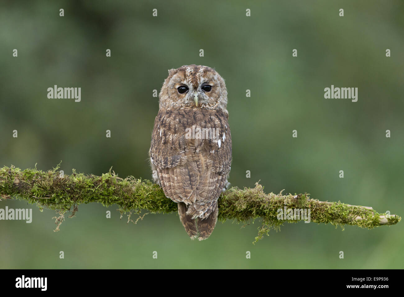 Tawny Owl (Strix aluco) adult, with head turned looking over shoulders, perched on mossy branch, September (captive) - Stock Image