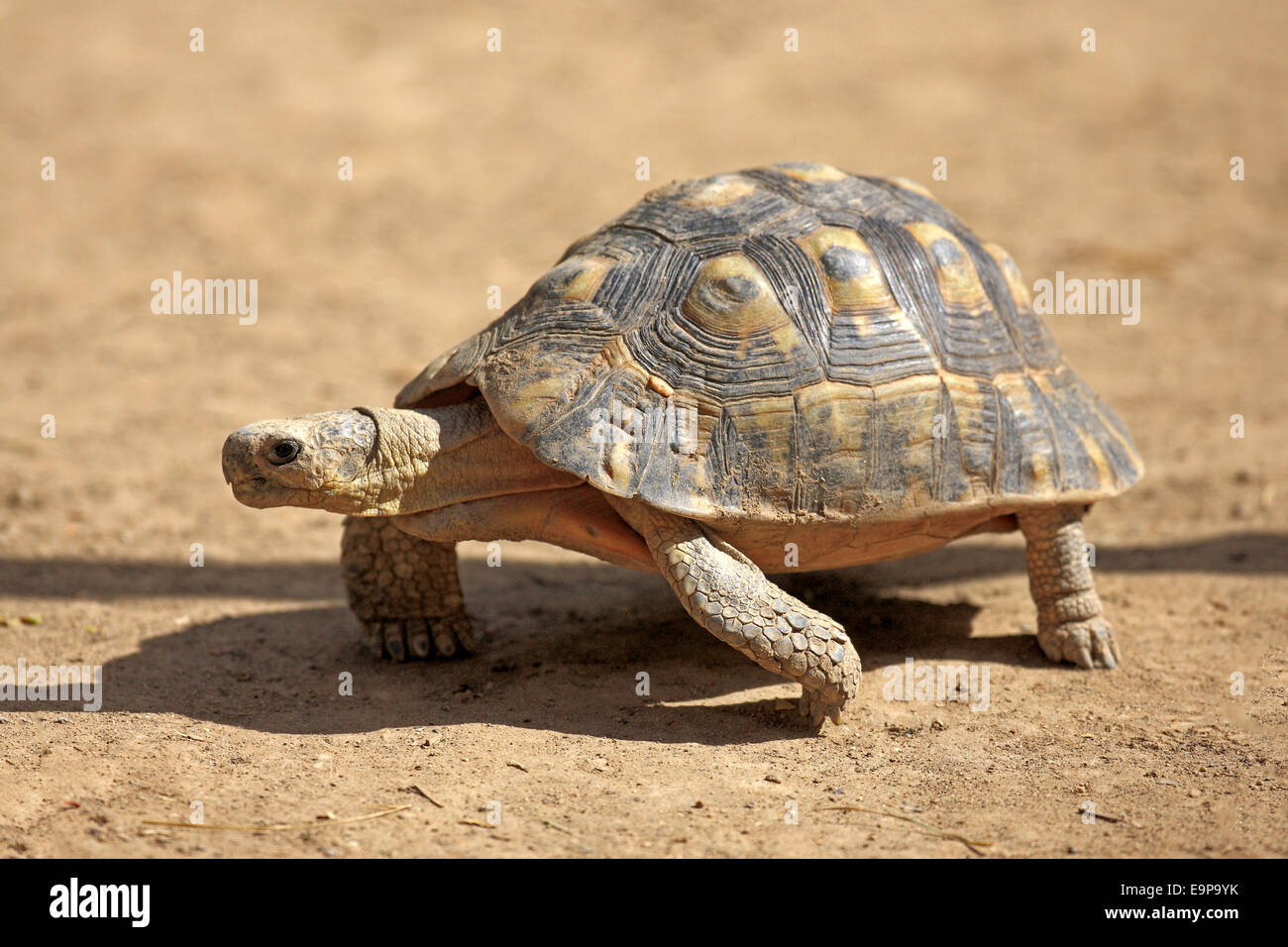 Angulate Tortoise (Chersina angulata) adult, walking on dry ground, Addo Elephant N.P., Eastern Cape, South Africa, - Stock Image