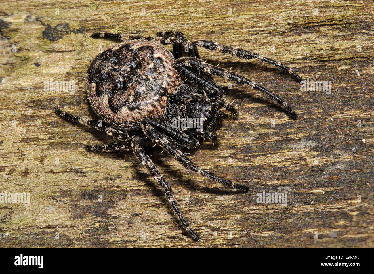 Walnut Orb-weaver Spider (Nuctenea umbratica) adult female, resting on piece of dead wood in garden, Sowerby, North - Stock Image