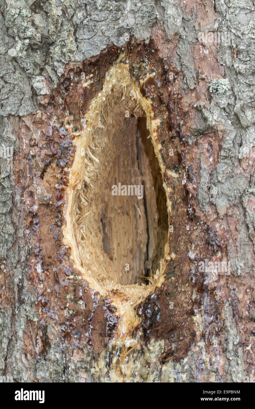 A characteristic elongated rectangular hole excavated by a black woodpecker - Stock Image