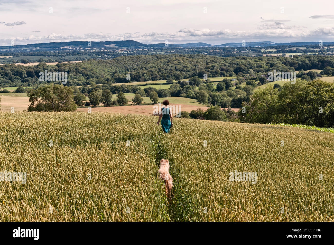 A woman walking her dog on a path through a field of wheat along the Mortimer Trail on Wapley Hill, Herefordshire. - Stock Image