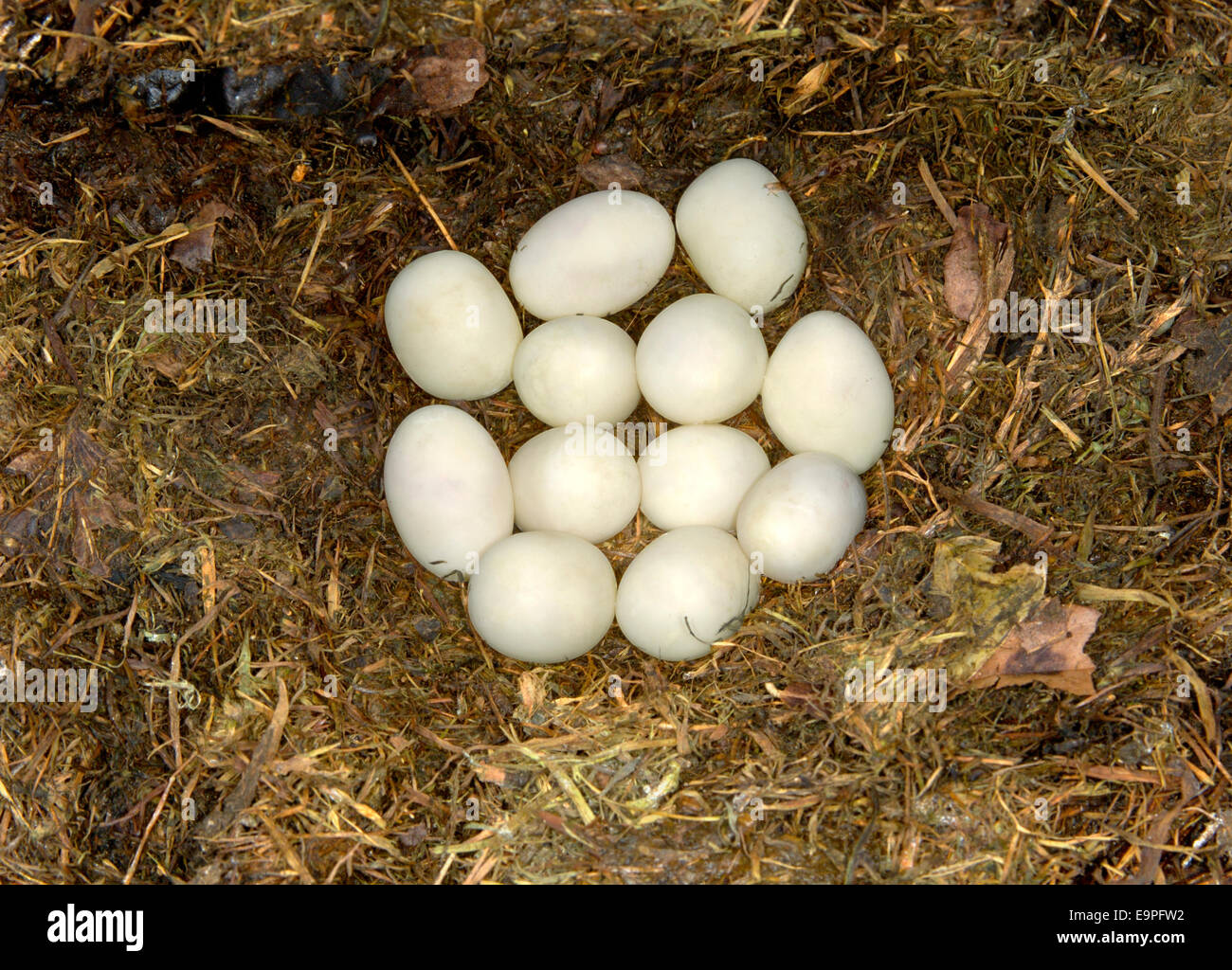 Snakes Eggs Stock Photos Snakes Eggs Stock Images Alamy