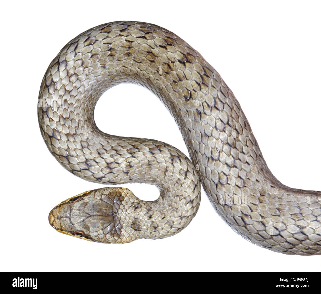 Smooth Snake - Coronella austriaca - Stock Image