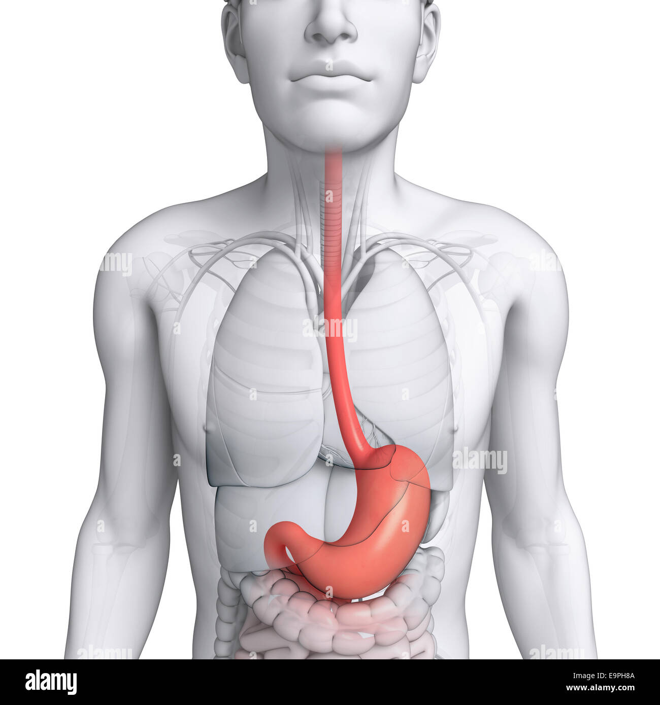 Illustration Of Male Stomach Anatomy Stock Photo 74869882 Alamy