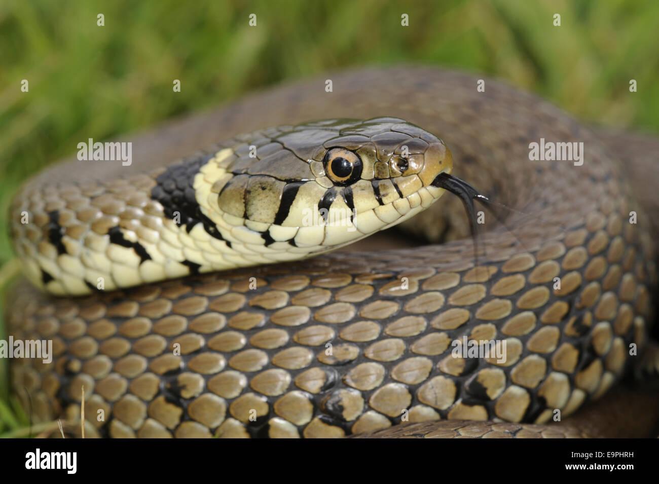 Grass Snake - Natrix natrix - Stock Image