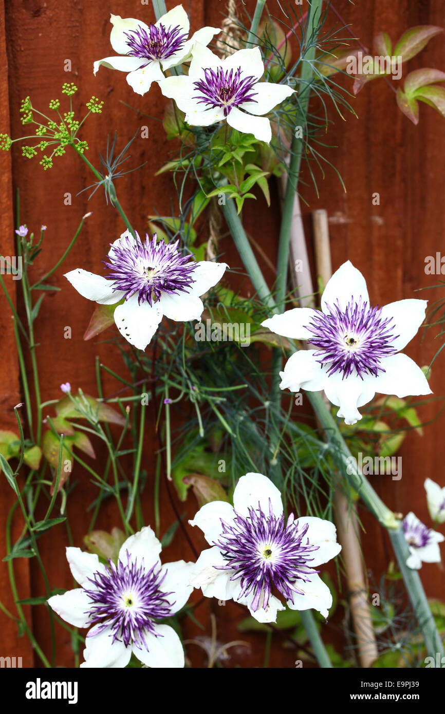 The White And Purple Flowers Of A Clematis Florida Sieboldii Stock