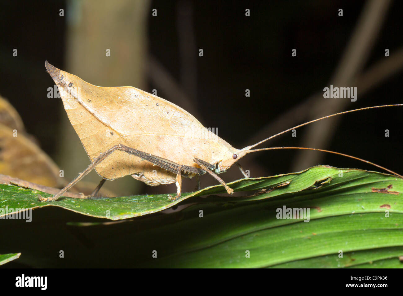 Leaf mimic katydid in the rainforest understory, Ecuador - Stock Image