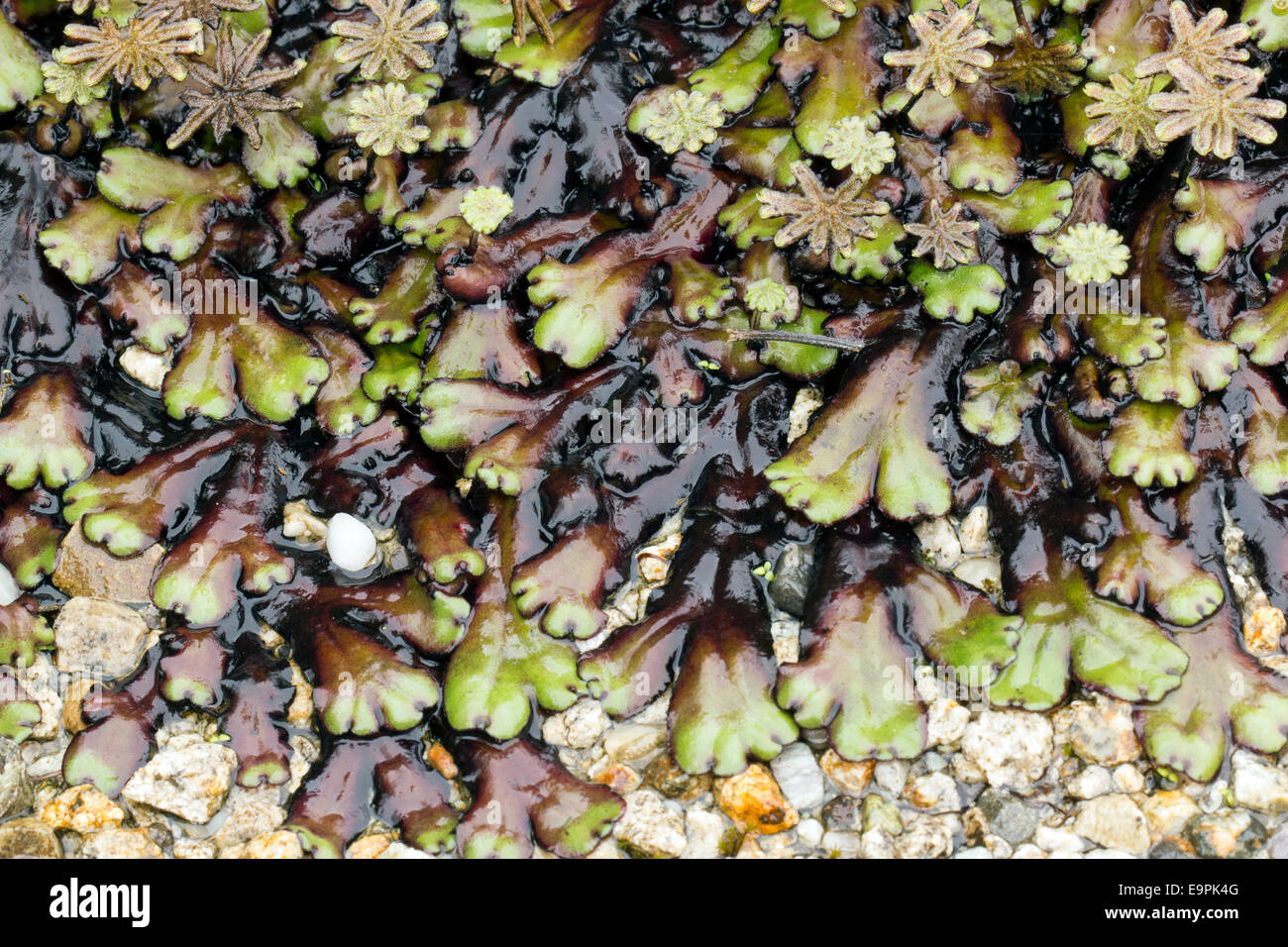 Marchantia liverworts with fruiting bodies (sporocarps) growing in cloudforest in the Ecuadorian Andes - Stock Image