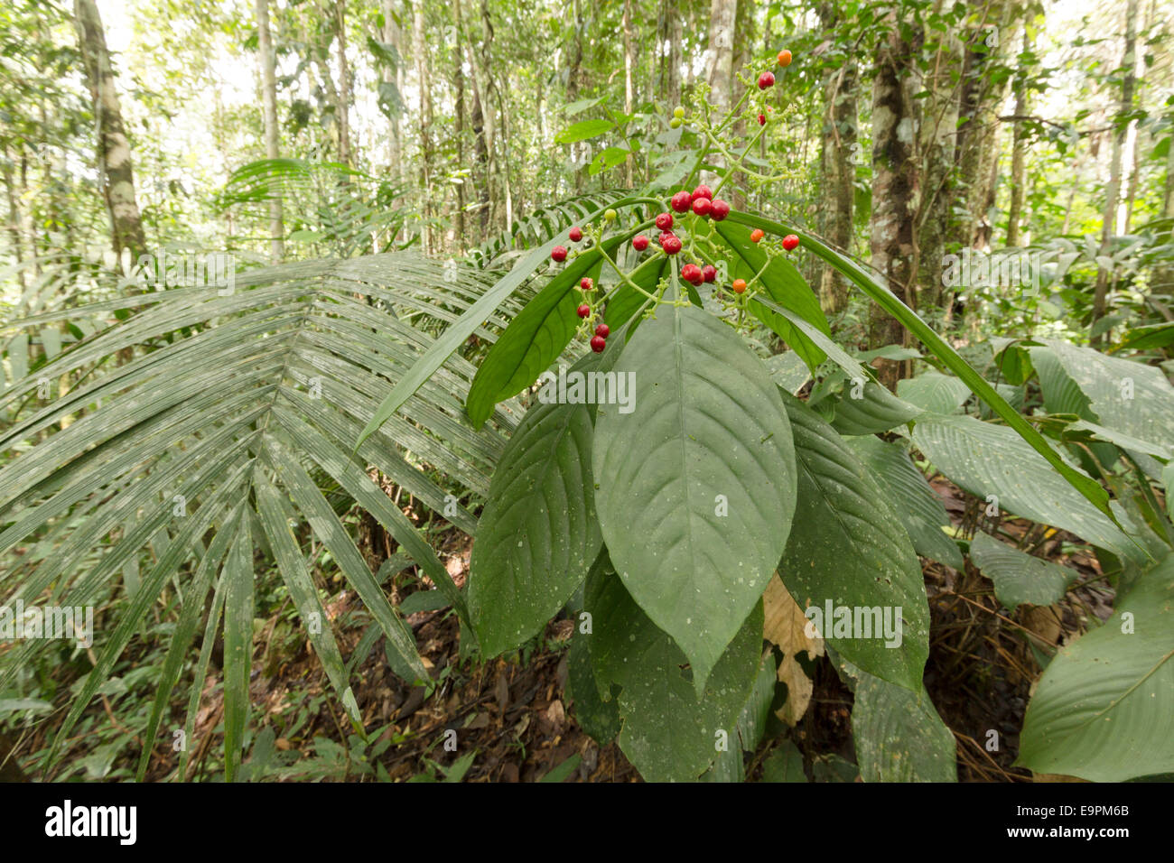 Understory shrub with ripe red berries in tropical rainforest in the Ecuadorian Amazon - Stock Image