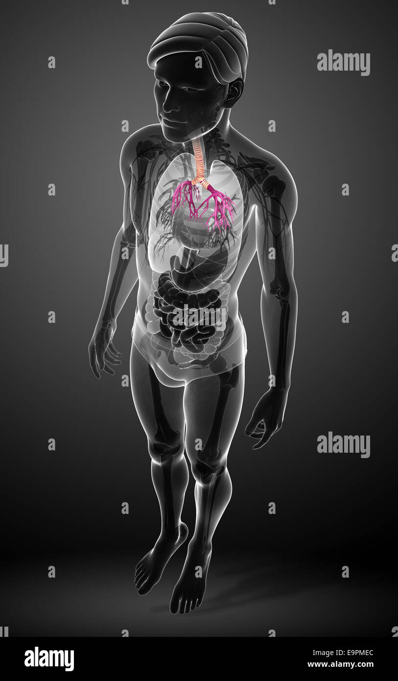 Illustration Of Male Throat Anatomy Stock Photo 74872404 Alamy