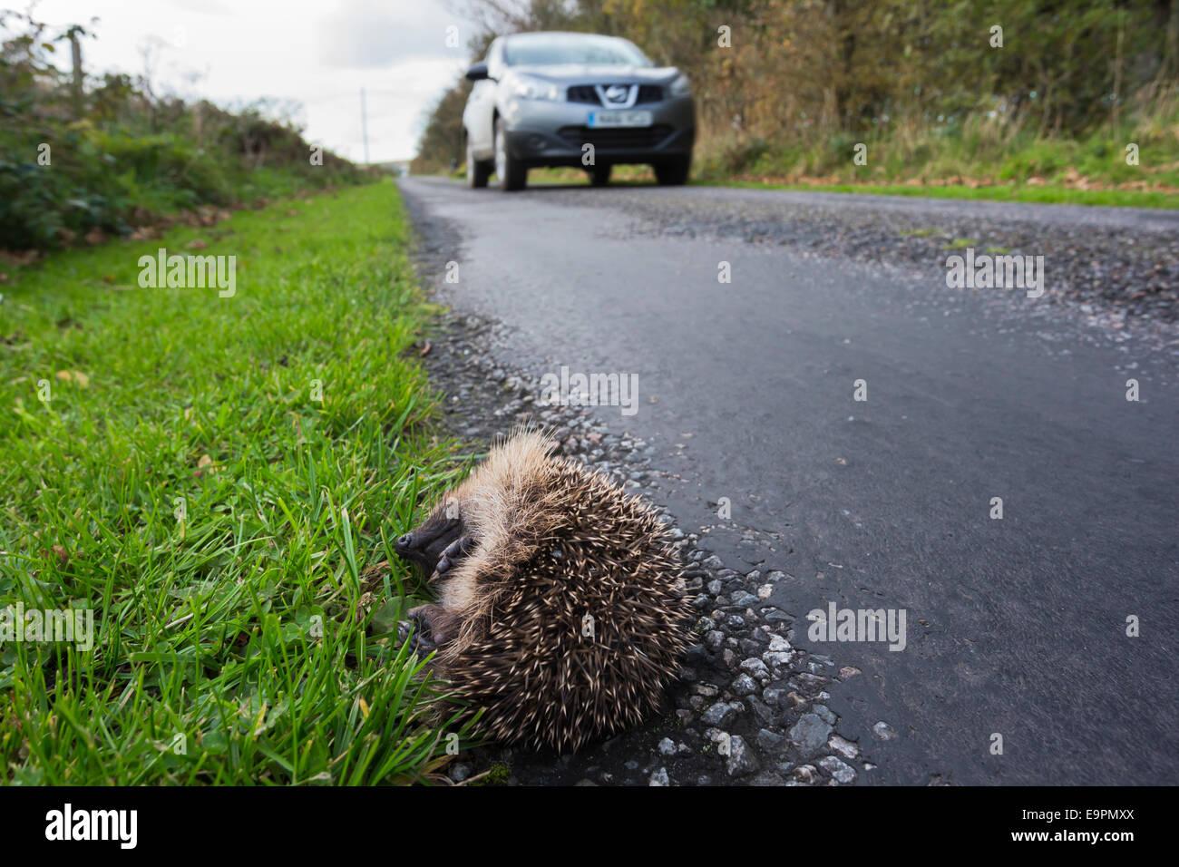 Hedgehog (Erinaceus europaeus), dead on the side of the road, UK, Islay, Scotland - Stock Image