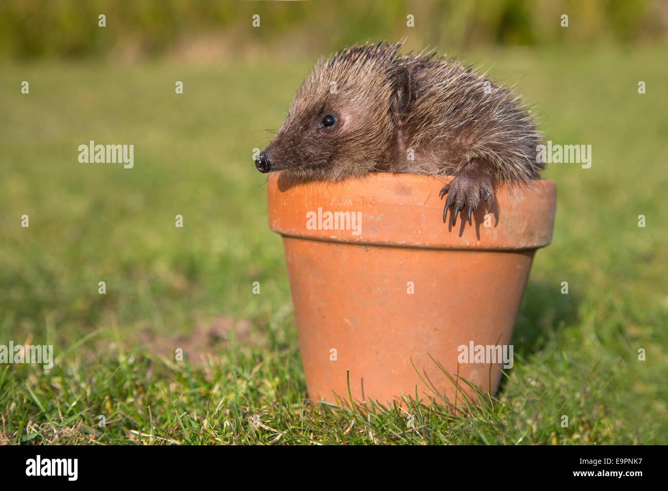 Hedgehog (Erinaceus europaeus), in plant pot, captive, UK Stock Photo