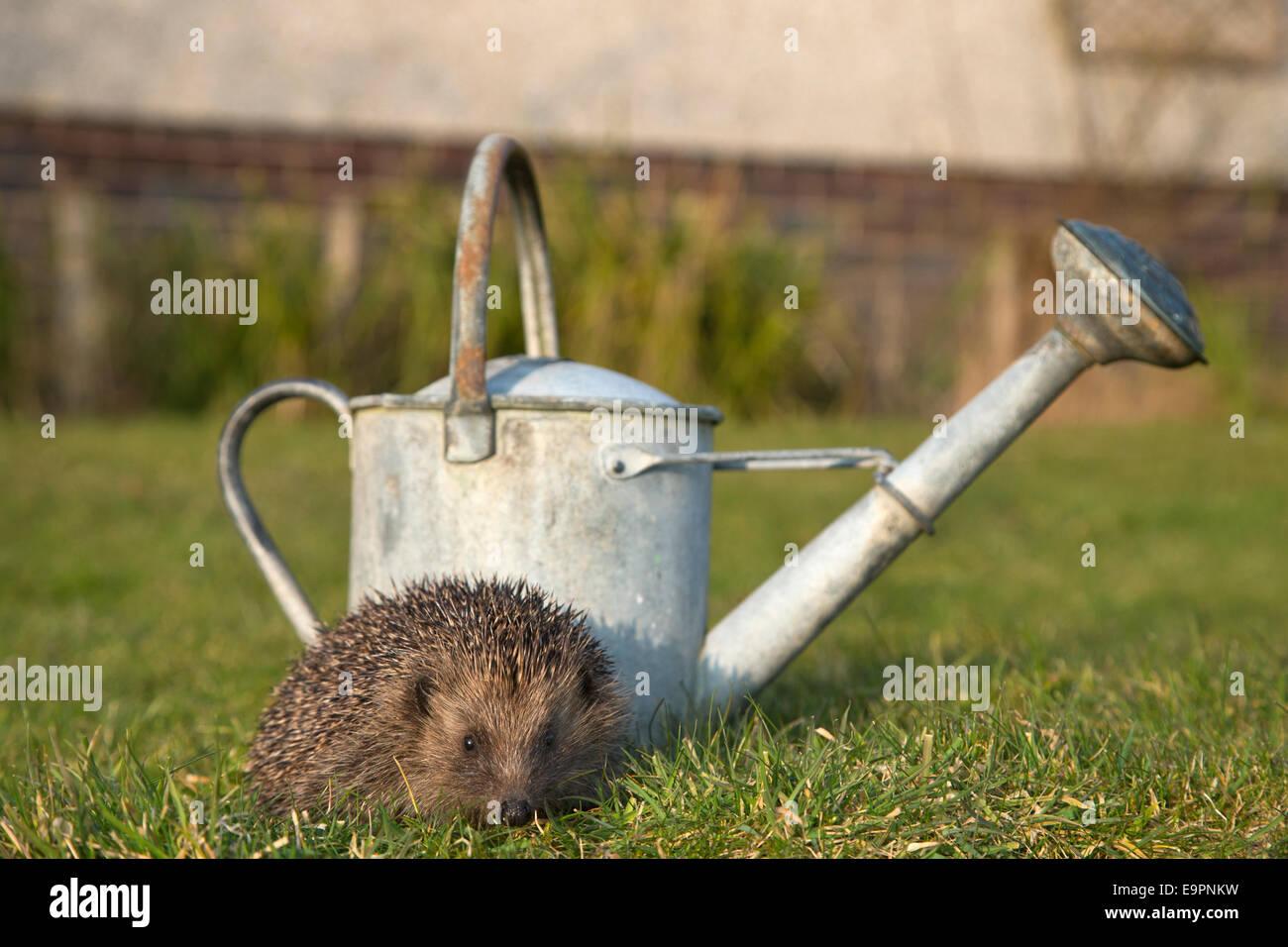 Hedgehog (Erinaceus europaeus), in garden, captive, UK - Stock Image