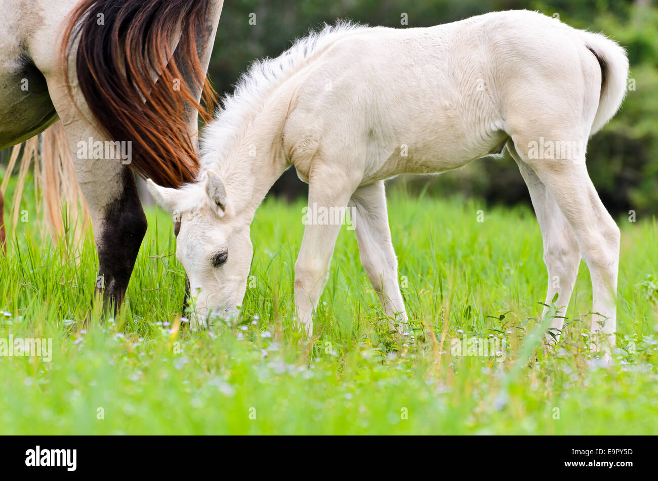 Baby Horse Eating High Resolution Stock Photography And Images Alamy
