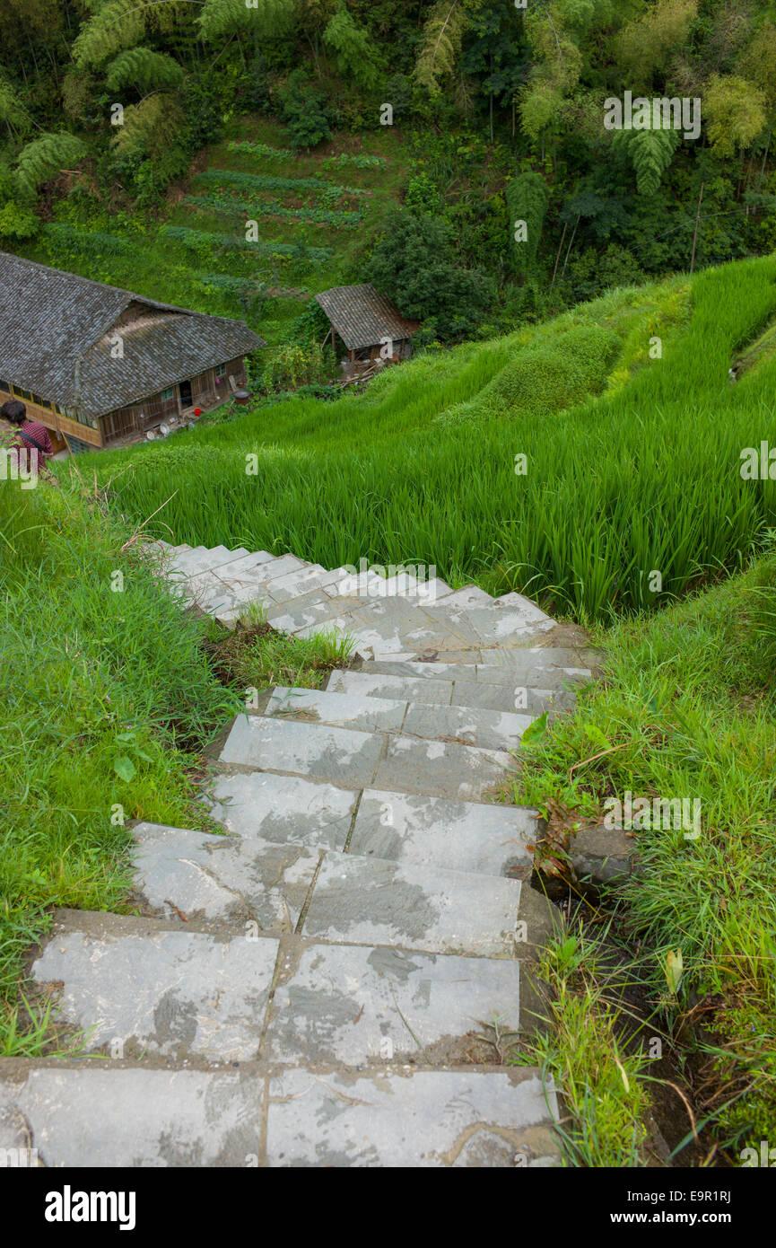 Path through the Longsheng Rice Terrace, Dragon's Backbone, Longji, China. Stock Photo