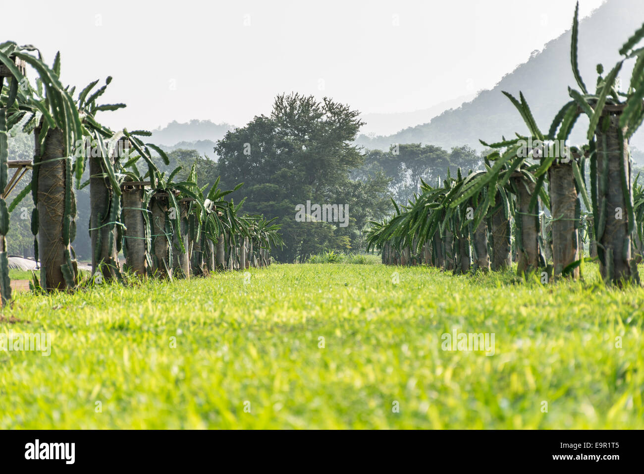a field with fruit bushes Hylocereus on a background of sky - Stock Image