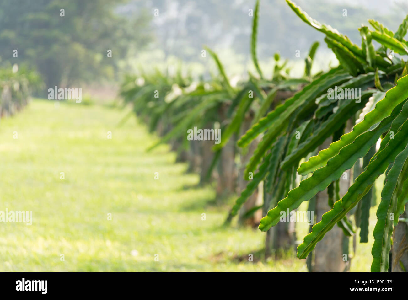 road and a field with fruit bushes Hylocereus on a background of sky - Stock Image