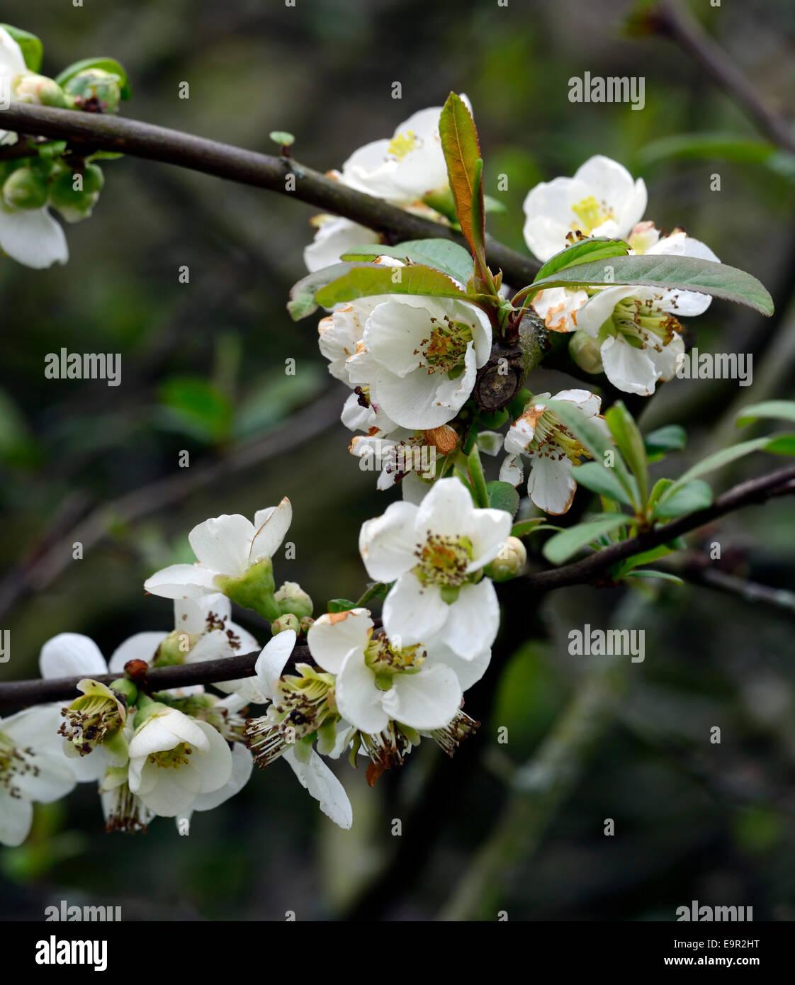 Chaenomeles Speciosa Nivalis Flowering Quince Cultivar Hardy Shrub