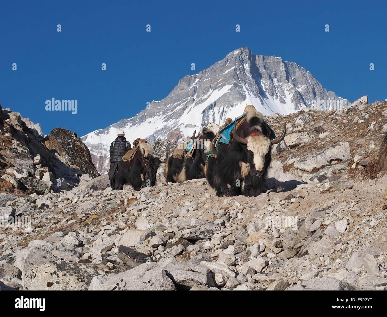 Yaks on the trail, Everest Base Camp Trek, Khumbu Region, Nepal. - Stock Image