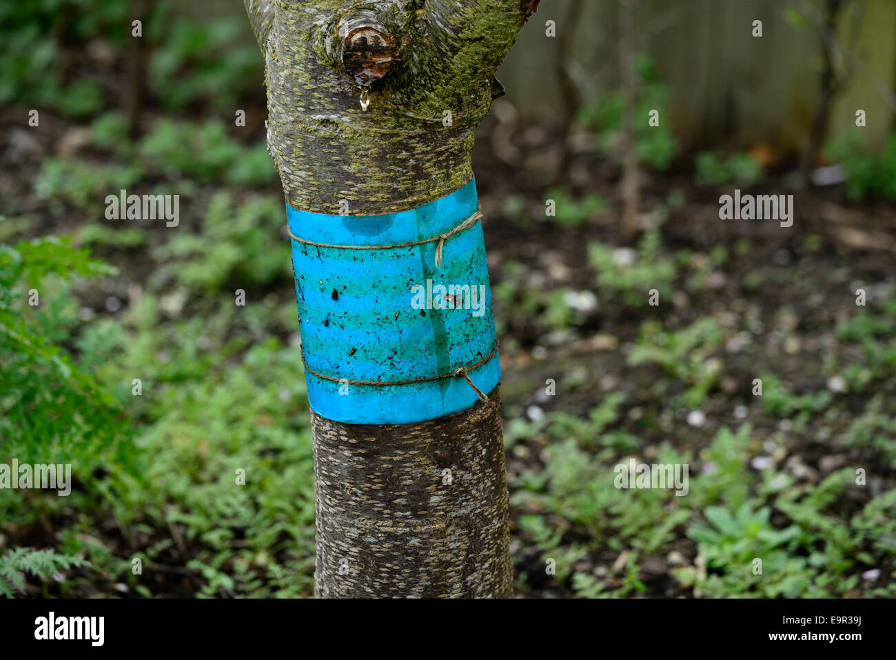 grease band trunk fruit tree bands barrier control controlling insects moth orchard pest pests protection protective - Stock Image